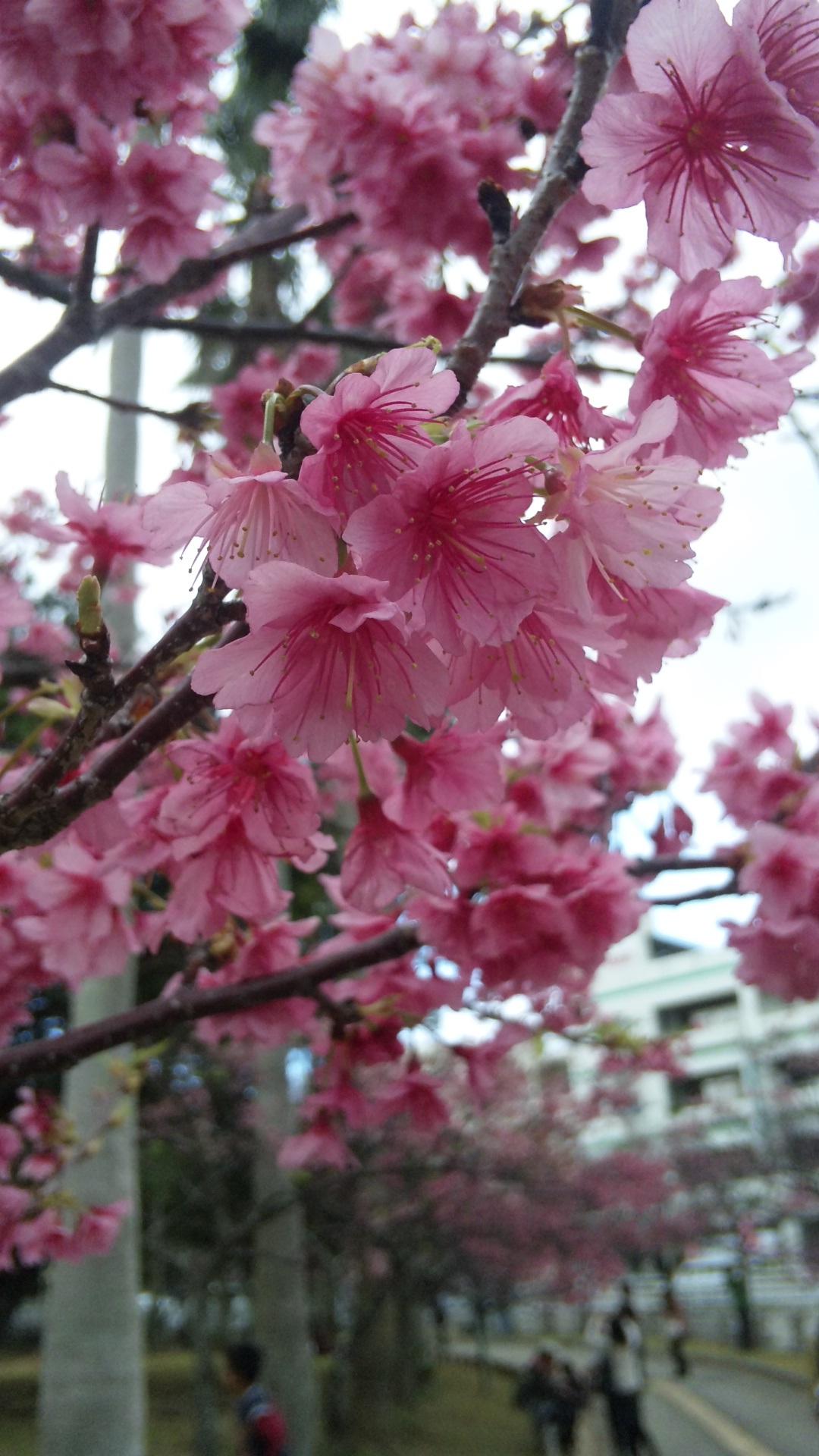 sakuramatsuri06.jpg